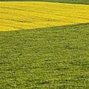 Yellow Rapeseed Growing Amongst Green Poster