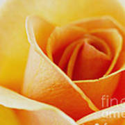 Yellow Rose After The Rain Poster