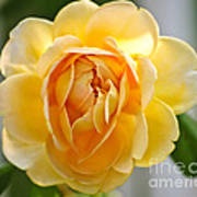 Yellow Rose Blooming Poster