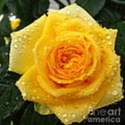 Yellow Rose With Water Droplets Poster