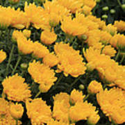 Yellow Sea Of Flowers Poster