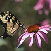 Yellow Swallowtail And Purple Coneflower Poster