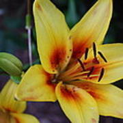 Yellow Tiger Lily Poster