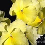 Yellow Violas Poster
