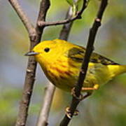Yellow Warbler II Poster