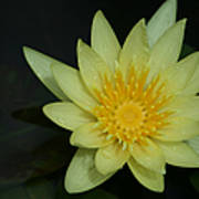 Yellow Waterlily - Nymphaea Mexicana - Hawaii Poster