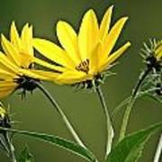 Yellow Wildflower 2 Poster