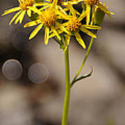 Yellow Wildflower At Crater Lake Poster