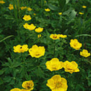 Yellow Wildflowers Blooming In Lush Poster