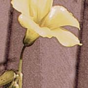 Yellow Wood Sorrel Poster
