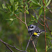 Yellowrumped Warbler Poster