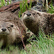 Yellowstone River Otters Poster