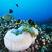 Yellowtail Anemonefish By Their Anemone Poster