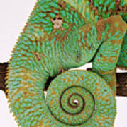 Yemen Chameleon, Close-up Of Coiled Tail Poster