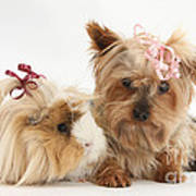 Yorkshire Terrier And Guinea Pig Poster