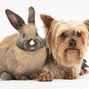 Yorkshire Terrier And Young Rabbit Poster