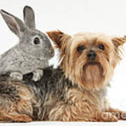 Yorkshire Terrier And Young Silver Poster