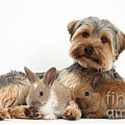 Yorkshire Terrier Dog And Baby Rabbits Poster