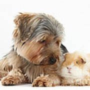 Yorkshire Terrier Dog And Guinea Pig Poster