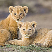 Young African Lion Cubs  Poster