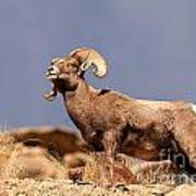 Young Bighorn Poster