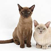 Young Burmese Cats Poster