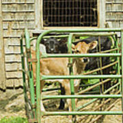 Young Calf In Fence Pen Near Barn Summer Maine Poster
