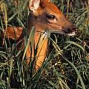 Young Deer Laying In Grass Poster