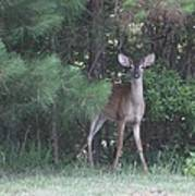 Young Deer Peering Out Of The Woods Poster