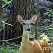 Young Doe At Side Of The Road Poster