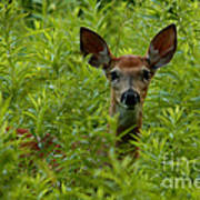 Young Fawn Playing Peek A Boo  Poster