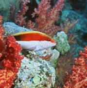 Young Forster's Hawkfish Poster