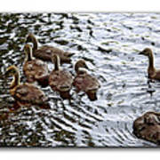 Young Geese Poster