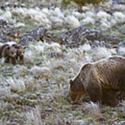 Young Grizzly Cubs Play As Their Mother Poster