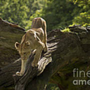 Young Lion Stalking Poster
