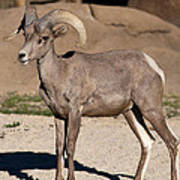 Young Male Bighorn Poster