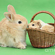 Young Rabbit With Baby Guinea Pig Poster