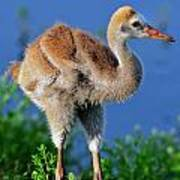 Young Sandhill Crane Poster