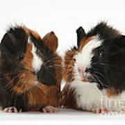Young Tricolour Guinea Pigs Poster