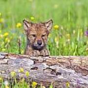 Young Wolf Cub Peering Over Log Poster