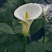 Zantedeshia Aethiopica African Flower Poster