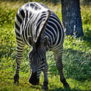 Zebra At Close Range Poster by Kelly Rader
