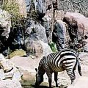 Zebra At Water Hole Poster