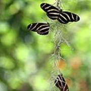Zebra Butterflies Hanging Out Poster