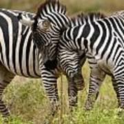 Zebra Hug Poster