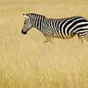 Zebra In Grasses Poster