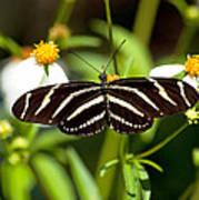 Zebra Longwing And Flowers Poster