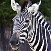 Zebra Symmetry  Poster