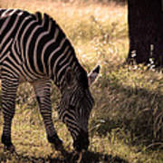 Zebra Take One Poster