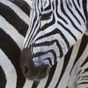 Zebras Close Up Poster